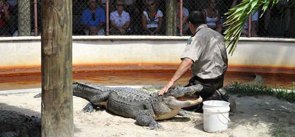 A man wrestles with an alligator at Everglades Safari Park.