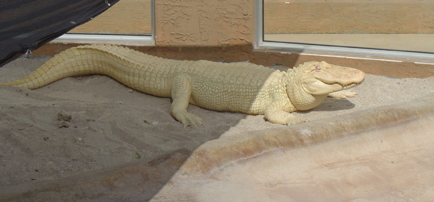 An large albino alligator bathes in the sun at Jungle Island.