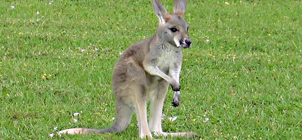 See small kangaroos hop around at Jungle Island.